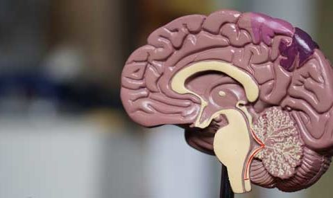 A dark pink and tan close up of a plasstic model of a human brain on a stand.