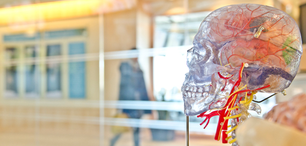 A plastic model of a brain- the skull translucent- stands in a public place