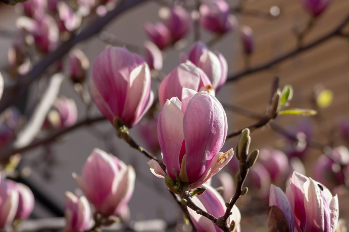 Close up of pink magnolia flowers just starting to open on a tree